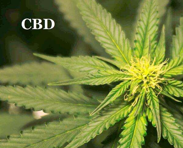 CBD OIL: The Ultimate Guide